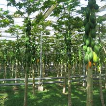 Mu gua zhong zi sementes de mamão da China nome científico de sementes