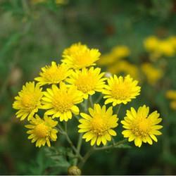Anthemis tinctoria extract powder,Yellow chamomile powder extract