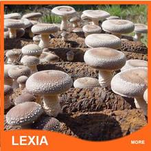 factory price high quality shitake mushroom