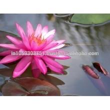 flor de loto rosa absoluta