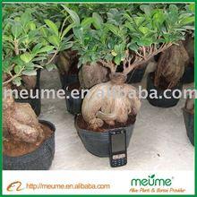 Ficus Microcarpa tree (evergreen tree) Bonsai Nursery