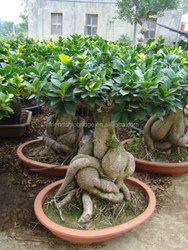 3000 gram Ginseng Ficus Microcarpa