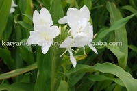 Ginger Lily Essential Oil, 100% Pure Ginger Lily