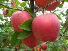bulk fresh red apples