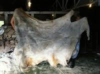 Raw Wet Salted Cattle Hides | donkey hides/Cow Skins /Buffalo Horns for Sale
