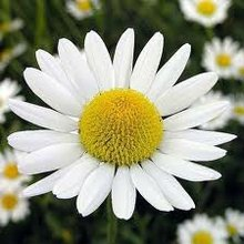 CHAMOMILE GERMAN BLUE ESSENTIAL OIL