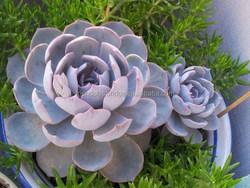 succulent plants Echeveria