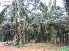 oil palm land
