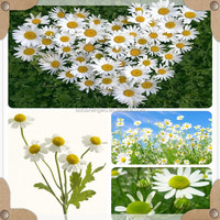 chamomile standardized extract/german chamomile extract/chamomile apigenin extract powder