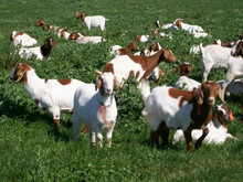 We supply Bucks/Does/Kids/Pregnant Goats/Boer goat semen Livestock