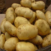 fresh potato 150g 200g up China Chinese fresh frozen vegetable fruit factory price