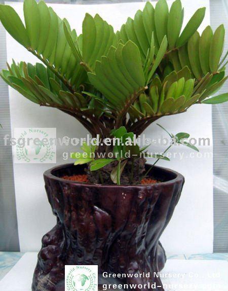 Zamia furfuracea ornamental palmeiras plantas lenhosas id for Planta ornamental zamia