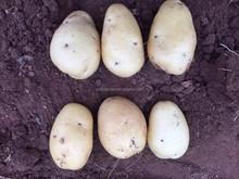 potato,fresh potato,fresh dutch potato