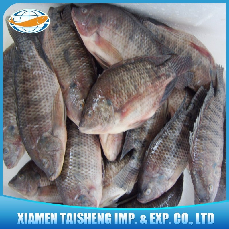 Frozen tilapia fish with good quality and good price buy for Is tilapia fish good for you
