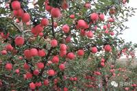 Red fuji apple fruit