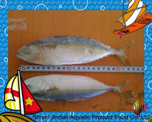 Chinese Frozen India mackerel for canning/ new caught A grade fish