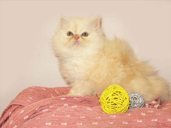 Farsça kedi