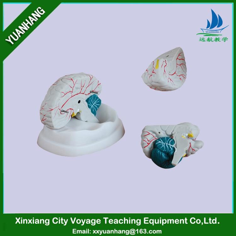 PVC menschlichen gehirn modell (3 teile) für medizinische lehre und ...
