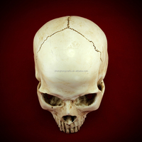 New Human Skull Resin Replica Model Llife size crystal skull Teaching Resources and Education Supplies