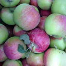 2015 High Quality Fresh Xiahong Apple New Crop