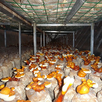 Sawdust Mushroom Medicinal Mushroom Organic Juncao Reishi Mushroom, Ganoderma Lucidum