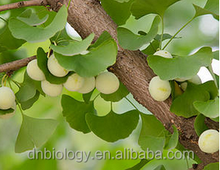 Natural herbal medicine Flavone glycoside 24% Terpene Lactones 6% ginkgo biloba leaf extract/Salisburia Adiantifolia