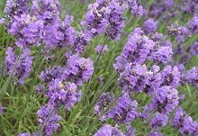 Lavender Oil pure and natural Indian company