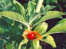 Withania Somnifera Extract,Ashwagandha Extract,withanolides 1.5%, 2.5%. 4.5%, 5% 10:1