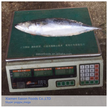 IQF Seafrozen Mackerel Fish on Hot Selling with Lowest Price Scomber Japonicus