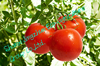 farm fresh tomatoes in china good harvest and competitive price