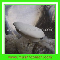 White Ferula Mushroom Mycelium