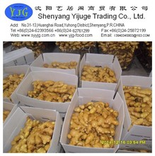 china factory direct sale ginger without pesticide