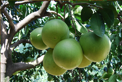 Sweet and sour pomelo fruit