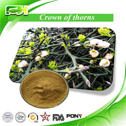 100% Natural Crown of Thorns Extract of Crown of Thorns