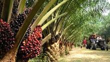 Brazilian Crude Palm Oil