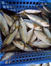 new landing of indian mackerel