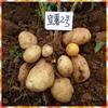 [wholesale] 100% organic potato from Yunnan best potato seeds