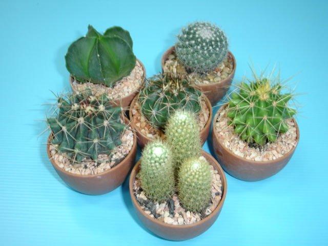 Baby Cactus - Buy Pot Cactus Product on Alibaba.com Baby Barrel Cactus
