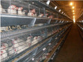 Codorniz pollo / aves de corral raising sistema