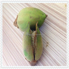 Fresh paulownia tomentosa seeds for green using