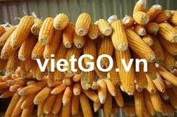 YELLOW CORN , YELLOW MAIZE AT COMPETITIVE PRICE