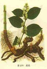 Giant Knotweed Extract