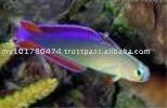 Púrpura gobio Firefish / de agua salada especies