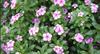 Catharanthus Roseus Extract Powder,Catharanthus Roseus Extract