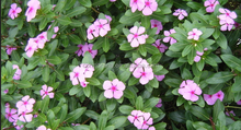Catharanthus Roseus Extract Powder,Catharanthus Roseus Extract