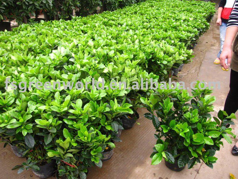 Gardenia jasminoides bush