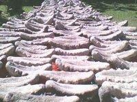 Fresh Dried SeaCucumber