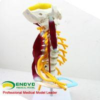 [Sample GS-18] Desktop Muscled Cervical Vertebrae Education Models for Medical Gift