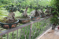 2015 Hot selling indoor and outdoor decorative ornamental bonsai plants