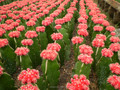 Profesional de vivero parainteriores mini-cactus planta suculenta